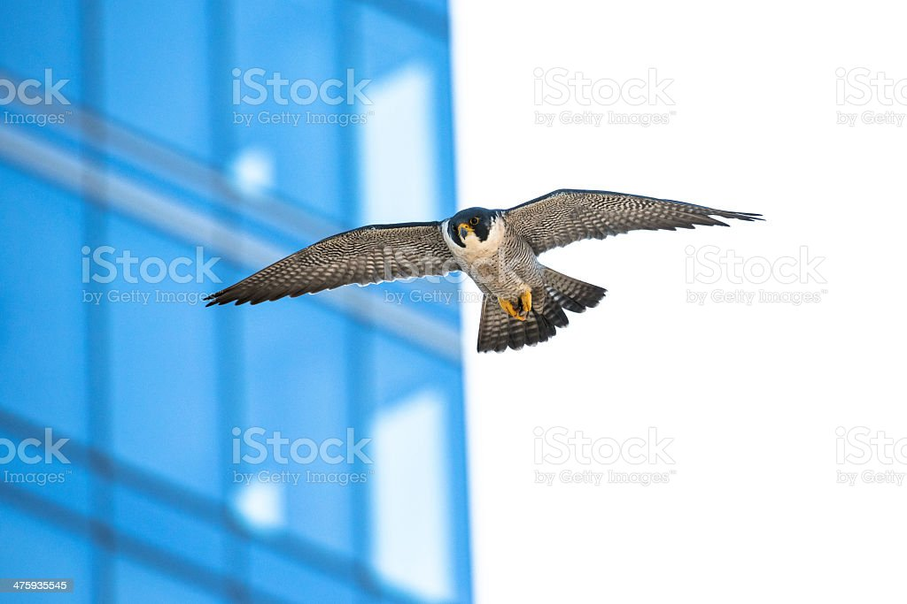 City Falcon stock photo