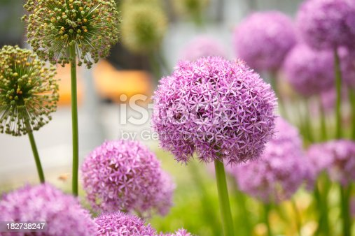 Allium flowers in the city with traffic in background.