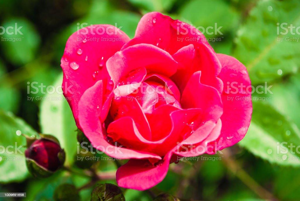 Ville Rouge Rose Fleur De Jardin Avec De Leau Tombe Sur Fond Dherbe