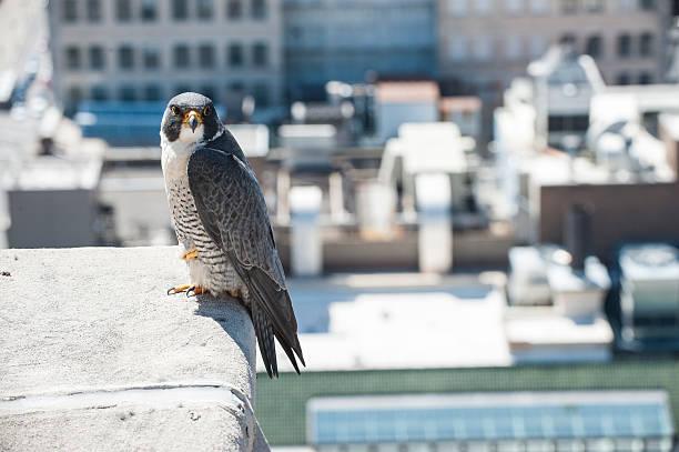 city perch - falcon bird stock photos and pictures