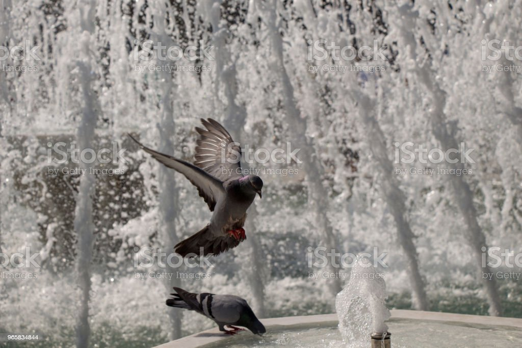 Stad Duiven langs de kant van de fontein - Royalty-free Dier Stockfoto
