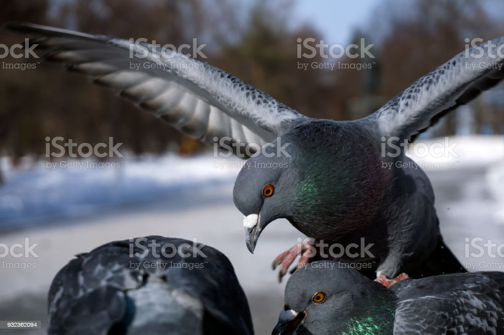 city pigeons during feeding in the park stock photo
