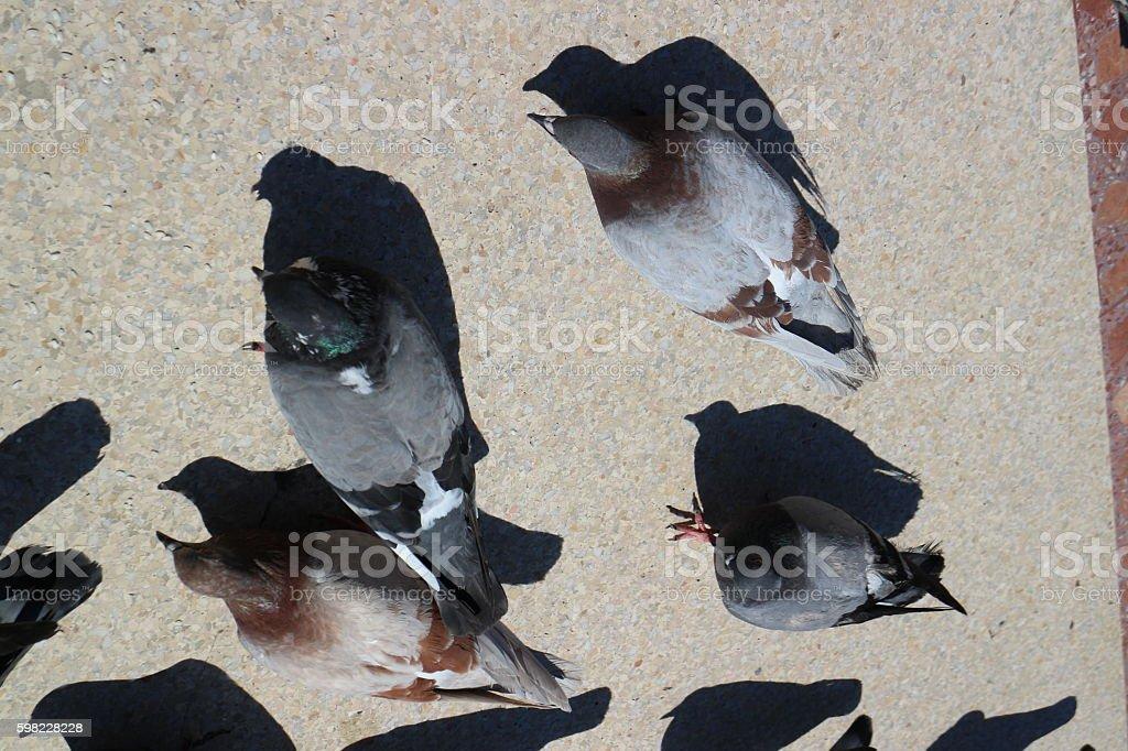 City Pigeons in Barcelona, Spain foto royalty-free