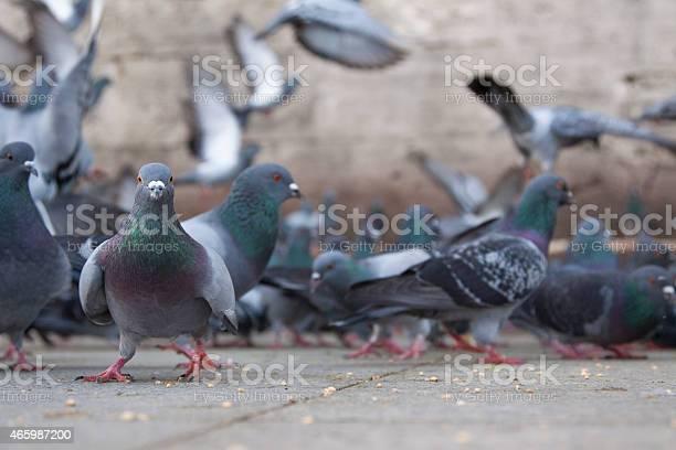 City pigeons picture id465987200?b=1&k=6&m=465987200&s=612x612&h=urk5r szqbjzku1oq1wwuxnotxea jyw plhwex ajq=