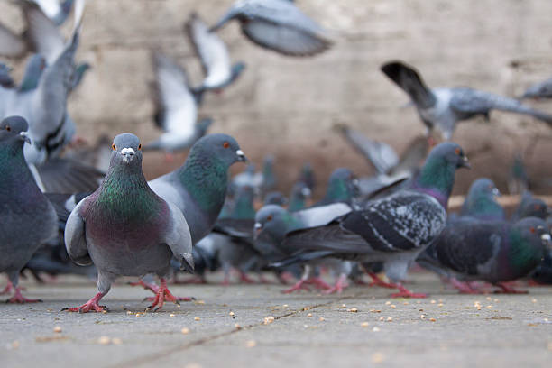 city pigeons - eminonu district stockfoto's en -beelden