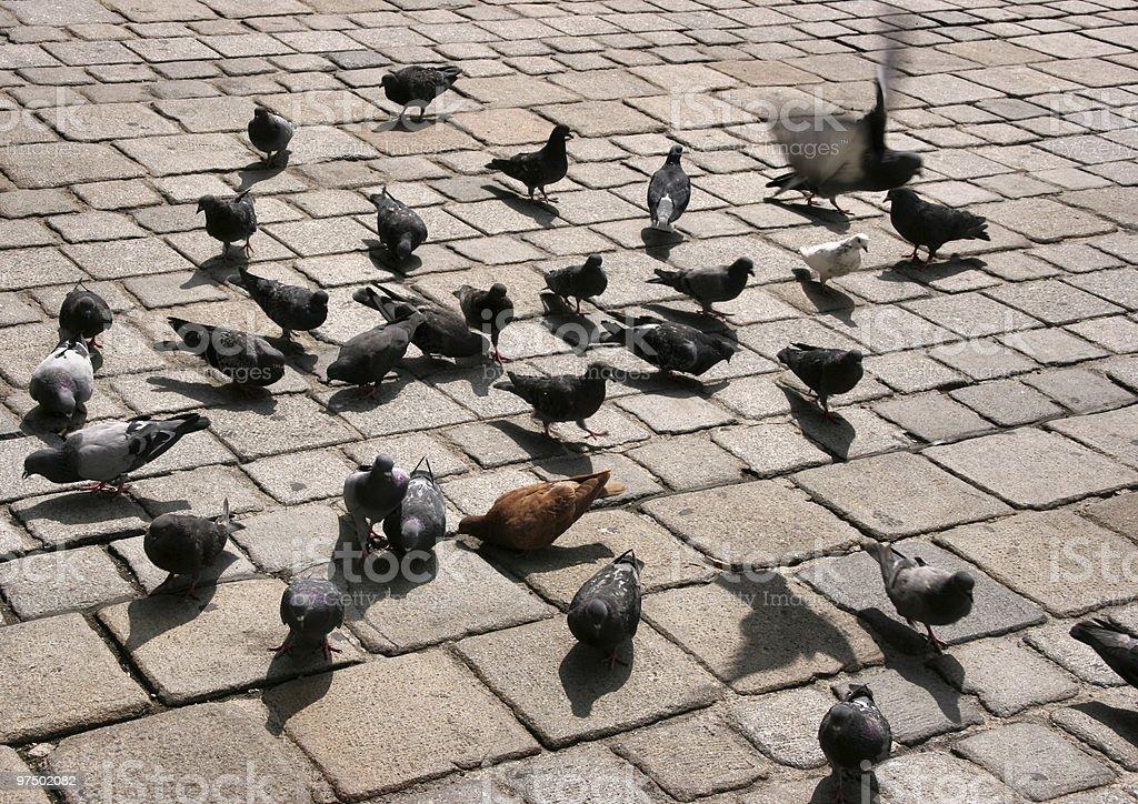 City pigeons royalty-free stock photo