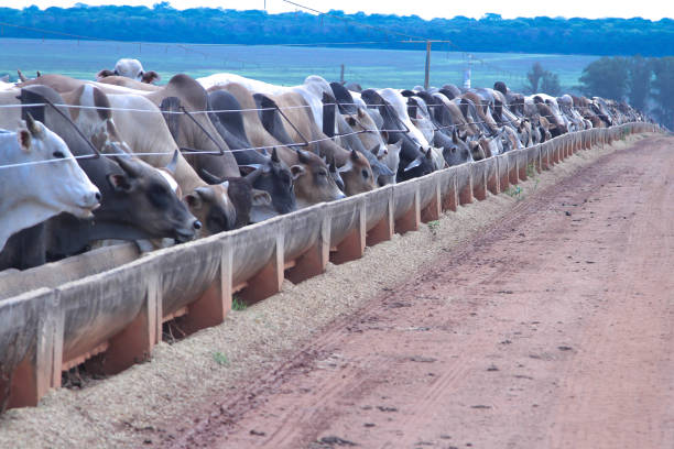 city Rio verde state of Goiás Brazil, 07/29/2019 confinement of cow to refrigerator, this confinement circulates more than eighty thousand head of cow per year. confined space stock pictures, royalty-free photos & images