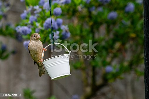 City wildlife with a house sparrow (Passer domesticus) perched on a garden bird feeder with insect caught in beak