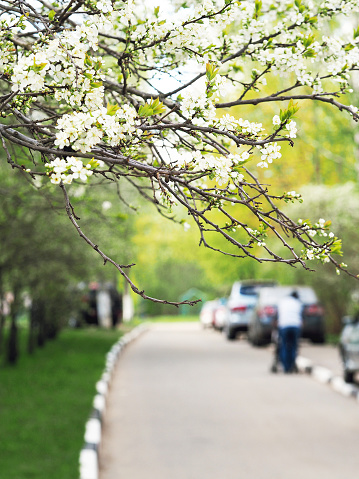 Cityscape. Street of the city in the spring. Green plants, cherry blossoms in the foreground, parked cars, mother and child in the stroller, the roadway. Selective focus