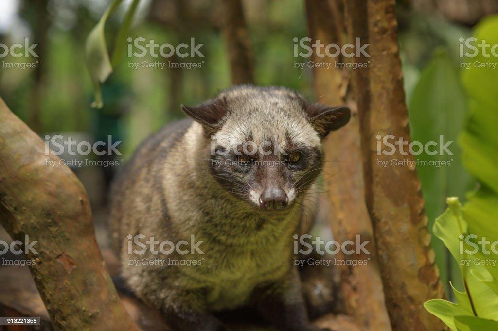 Civet Cat, Bali, Indonesia - Foto stock royalty-free di Albero
