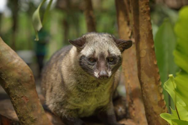 jineta, bali, indonesia - gato civeta fotografías e imágenes de stock