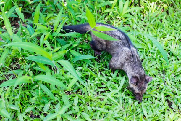 jineta en el desierto de java en indonesia - gato civeta fotografías e imágenes de stock