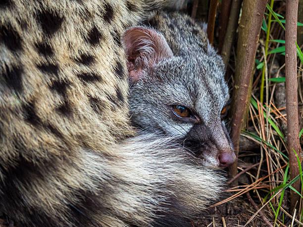 civet cat lying down hidden in the bushes - gato civeta fotografías e imágenes de stock