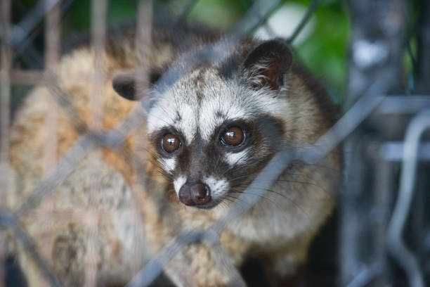 Civiet Cat in cage looking at camera.Asian palm civet is a viverrid native to South and Southeast Asia. stock photo