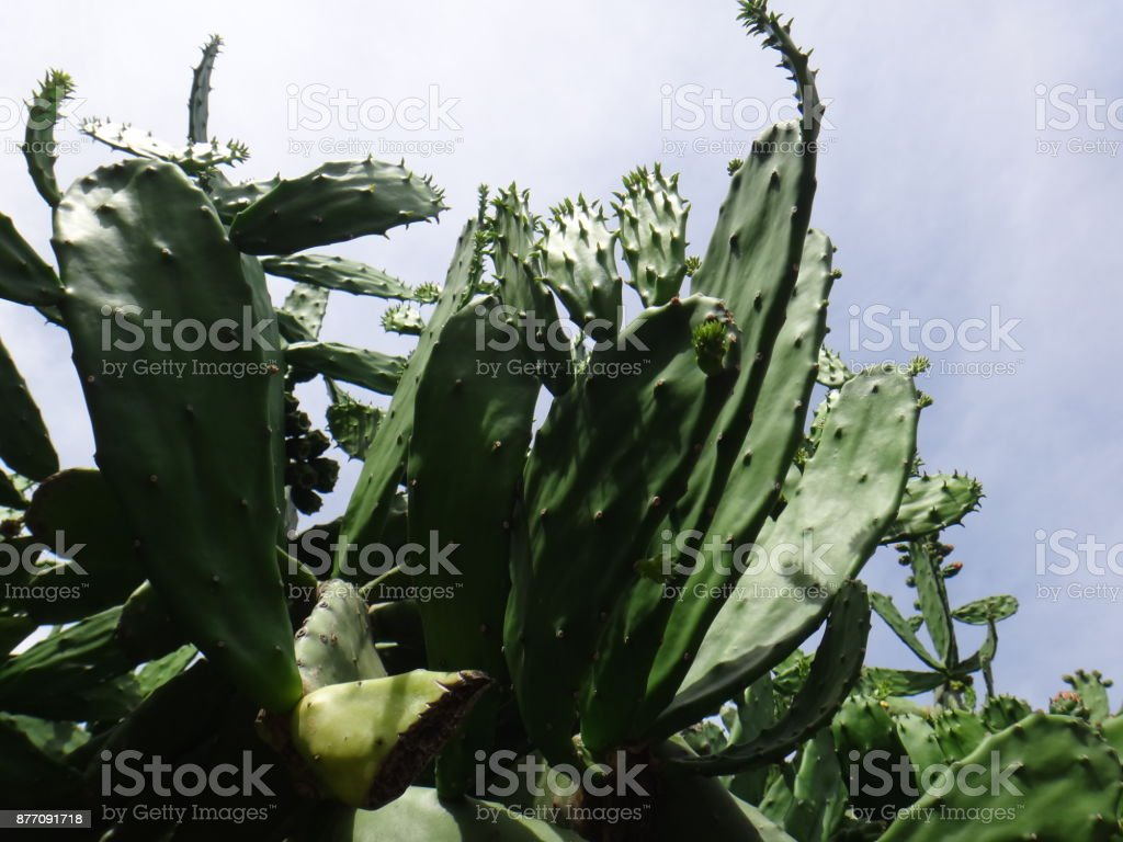 Cladode, stalk or pad of indian fig opuntia stock photo