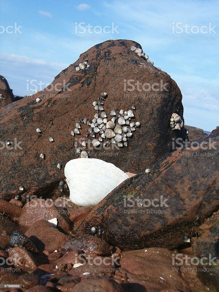 clam shell royalty-free stock photo