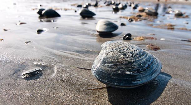 małż na plaży - mięczak zdjęcia i obrazy z banku zdjęć