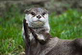 An Otter looking as though it's clapping