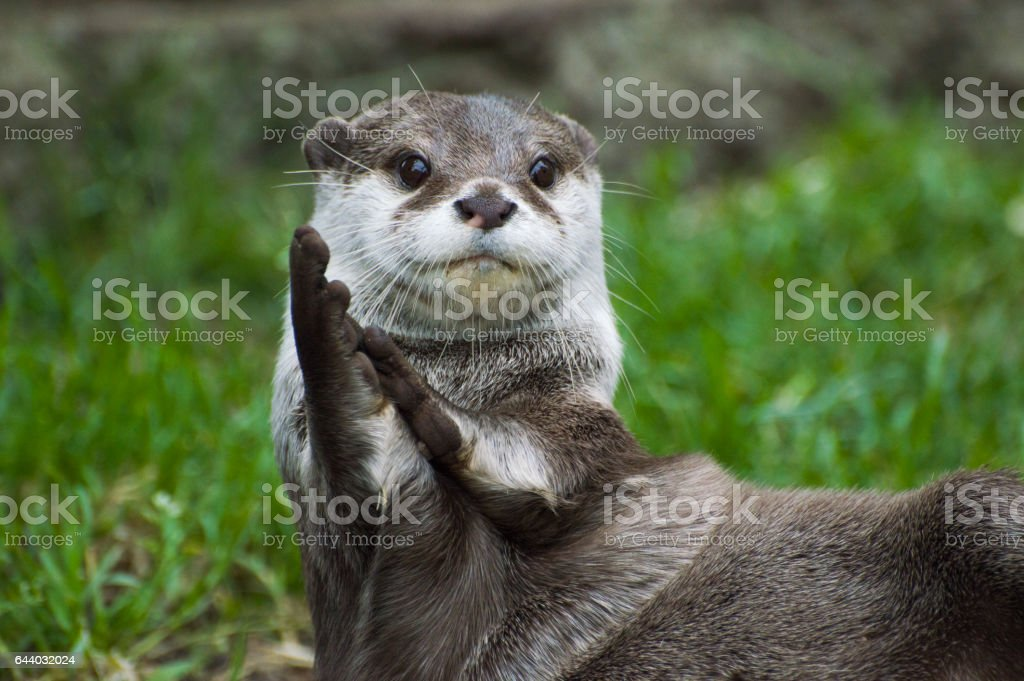 Clapping Otter stock photo