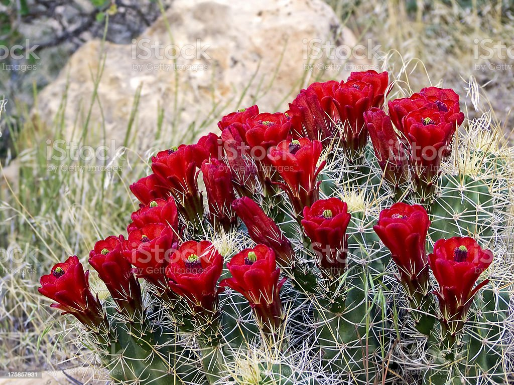Clarert Cup Cactus Flowers royalty-free stock photo