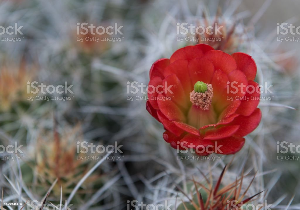 Claret Cup Cactus Flower with Bokeh Background stock photo