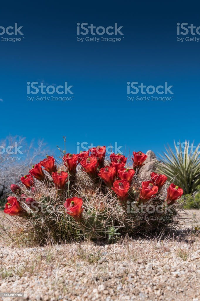Claret Cup Cactus Flowers on Clear Blue Sky stock photo