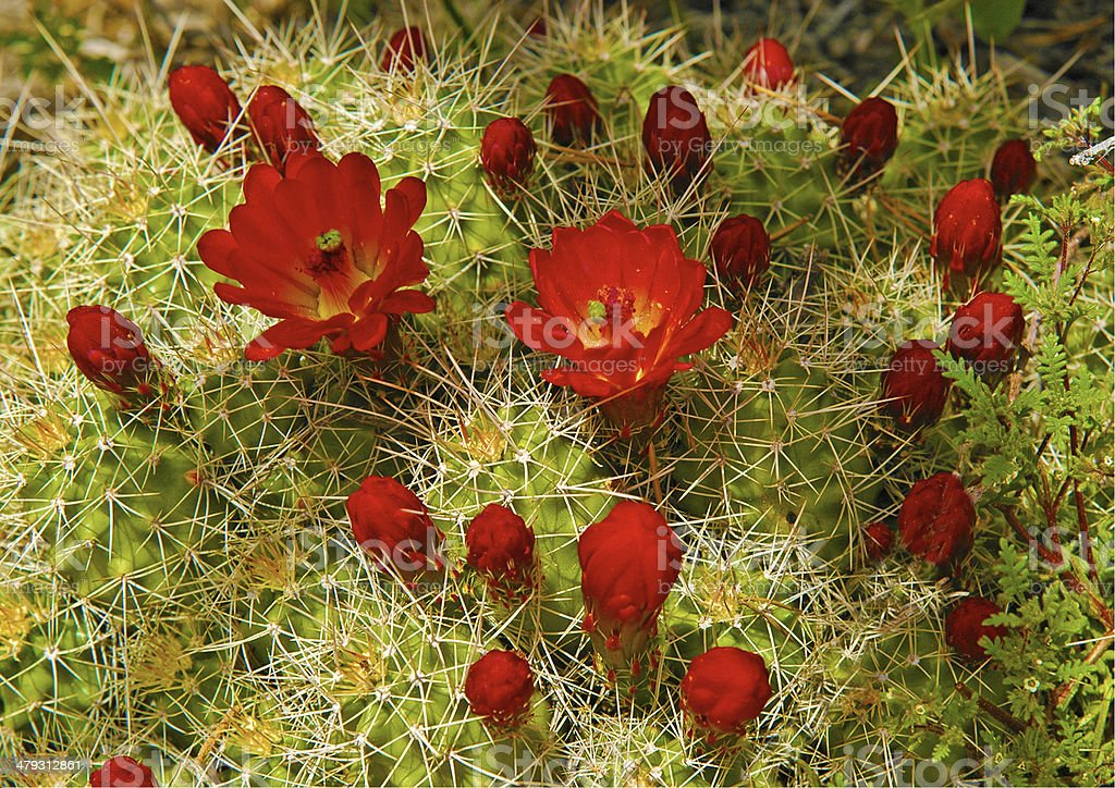 Claret Cup Cactus stock photo