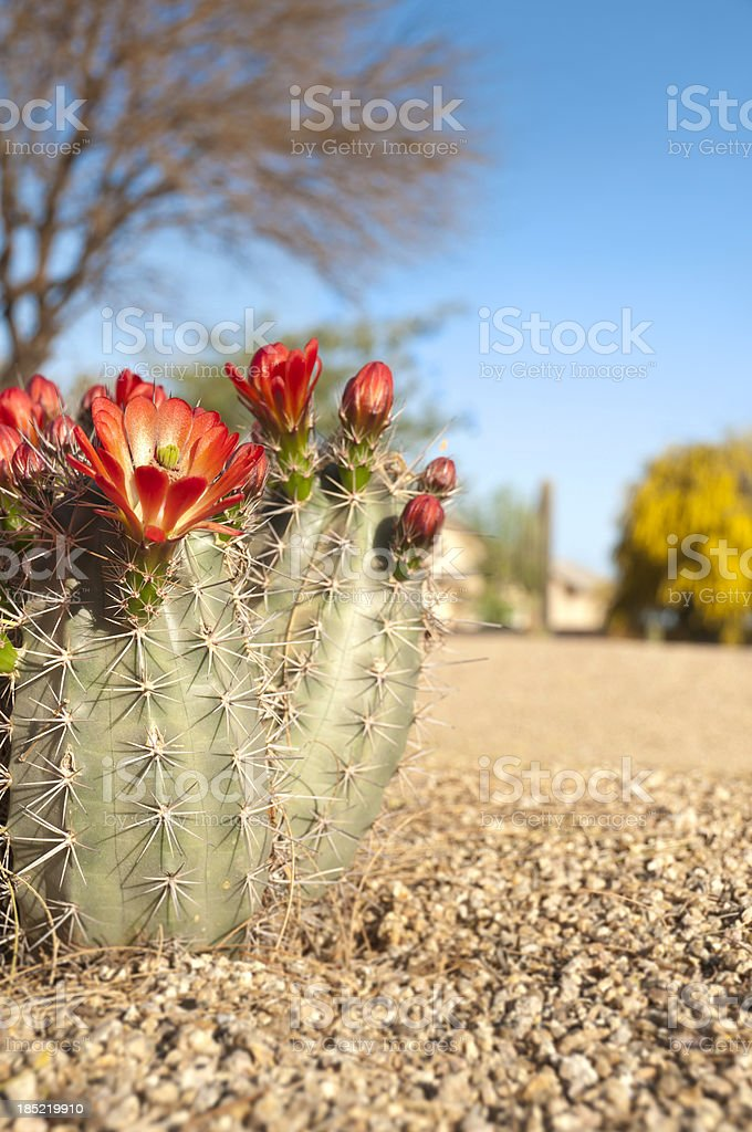 Claret Cup Hedgehog Cactus Blossoms stock photo