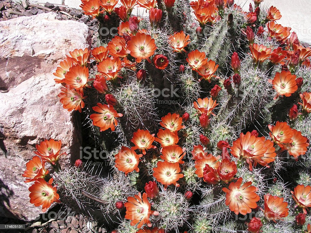 Claret cup hedgehog cactus in bloom stock photo