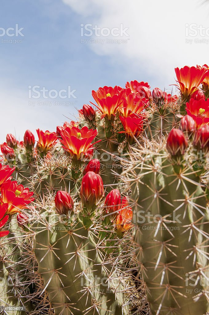 Claret cup hedgehog cactus in bloom stock photo