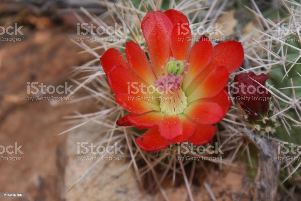 Claret-cup Cactus stock photo