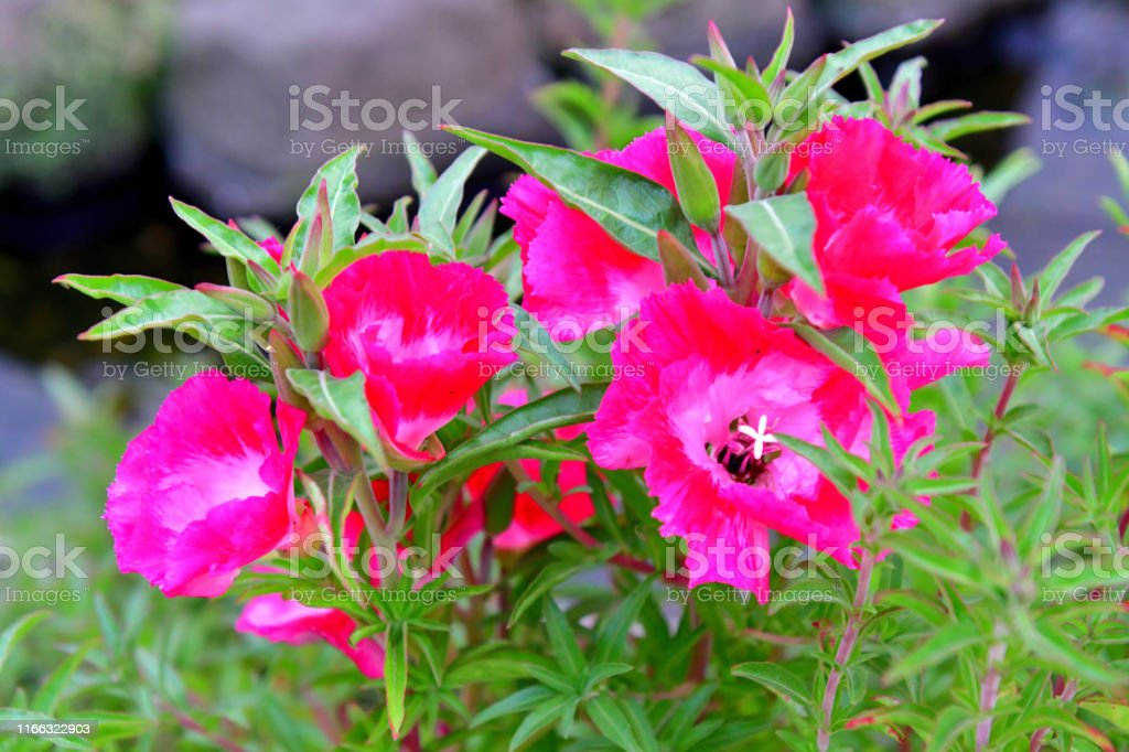 Clarkia Amoena Godetia Flower Stock Photo Download Image Now Istock