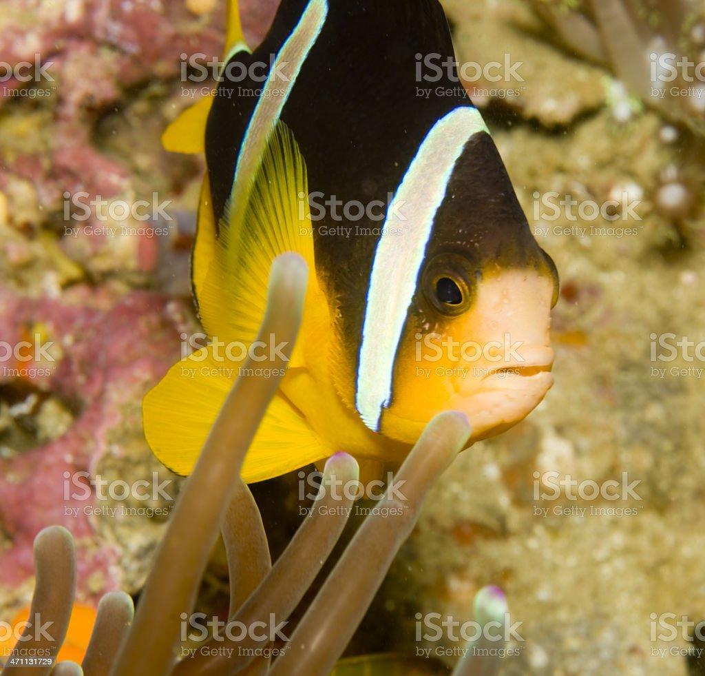 Clarks Anemone Fish royalty-free stock photo