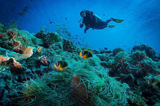 Clark's anemonefish and Diver - Palau - Photo