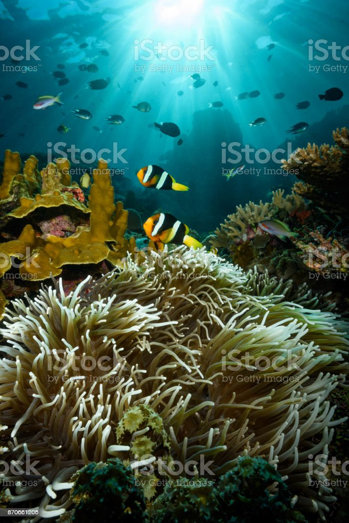 Clark's Anemonefish stock photo