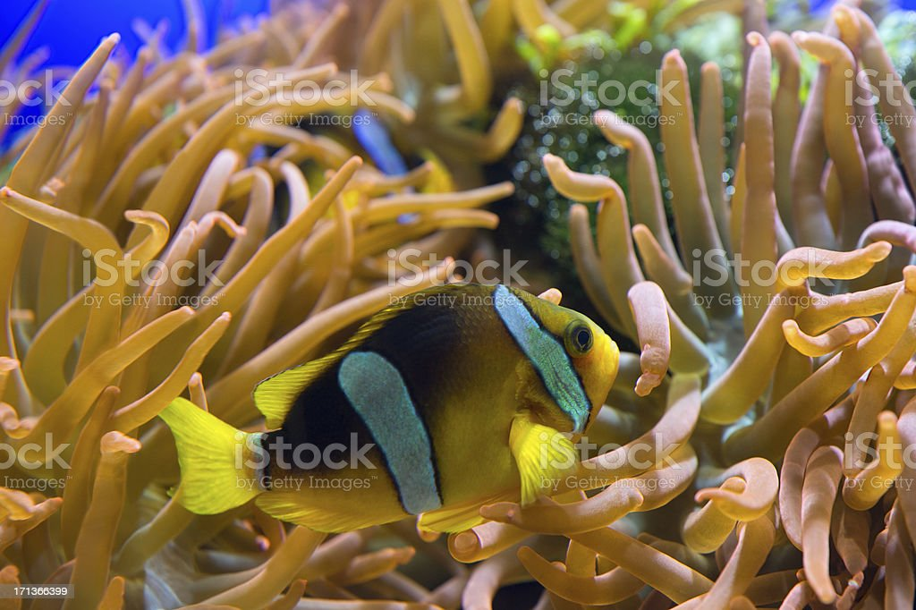 Clarks Anemonfish - Amphiprion clarkii royalty-free stock photo