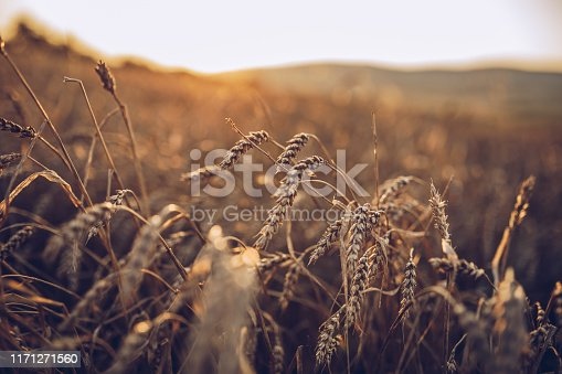 class of wheat into the field