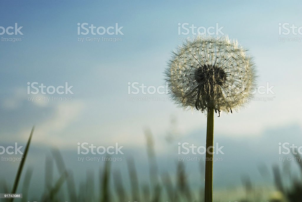 Classic Blowball royalty-free stock photo