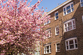 Classic British residential building in brown bricks next to a Japanese Cherry tree in full bloom covered in pink blossoms