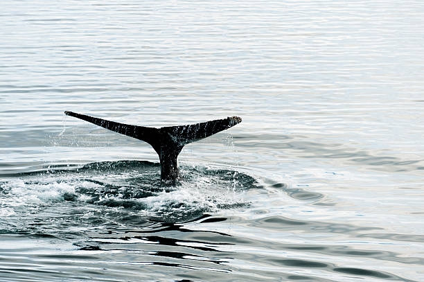 Classic Humpback Whale Tail Image stock photo