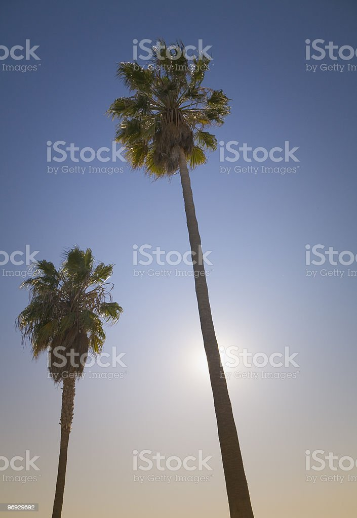 Classic Los Angeles Palm Trees royalty-free stock photo