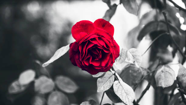 Classic Perfect Garden Red Rose And Thorns in Rain Highlighted With Black and White Conceptual stock photo