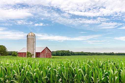 Classic red barn and silo set in a field of green corn and under a blue sky with copy space if needed.  Traditional rural scene.
