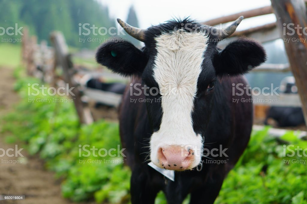 Classic rural farm cowshed. Milking cows. Cow in stable eating grass. Black and white baby cow in front of mountain forest landscape. Farming and animal husbandry concept. Copy space. stock photo