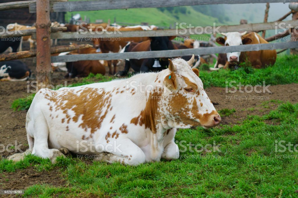Classic rural farm cowshed. Milking cows. Cows in stable eating grass. White, red, brown cows in front of mountain landscape. Farming and animal husbandry concept. stock photo