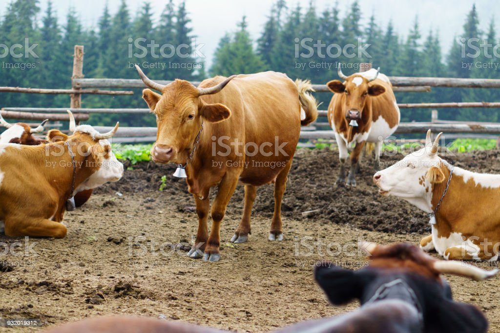 Classic rural farm cowshed. Milking cows. Cows in stable eating grass. White, red, brown cows in front of Carpathians mountain forest landscape. Farming and animal husbandry concept. stock photo