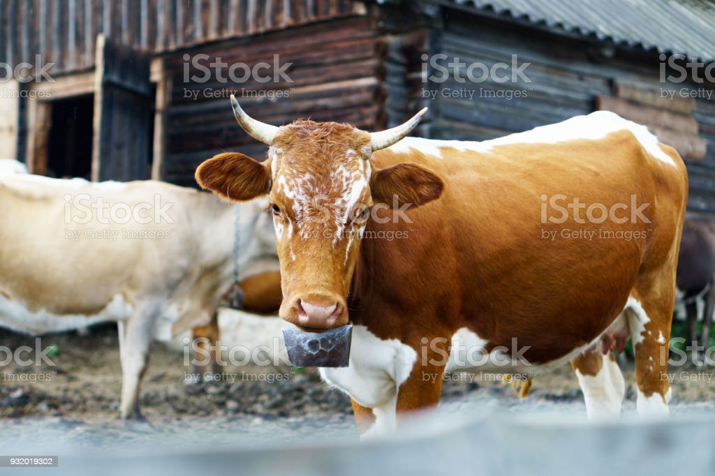 Classic rural farm cowshed. Milking cows. Cows in stable near old wooden rustic shelter. White, red, brown cows in front of mountain landscape. Farming and animal husbandry concept. stock photo