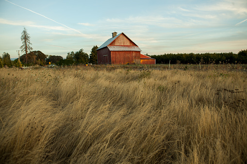 A vibrant red barn stands in Oregon while the summer nights fade away. Tall brown grass in the foreground with copy space on all sides of the barn.