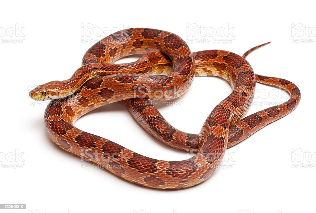 Classical Corn Snake or Red Rat Snake, Pantherophis guttatus, stock photo