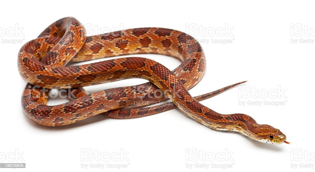 Classical Corn Snake, Pantherophis guttatus, in front of white background stock photo